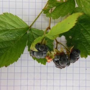 - Rubus caesius L. [1753]