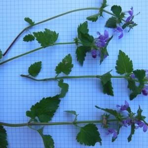 Photographie n°186582 du taxon Lamium maculatum (L.) L. [1763]