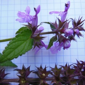 - Stachys palustris L.