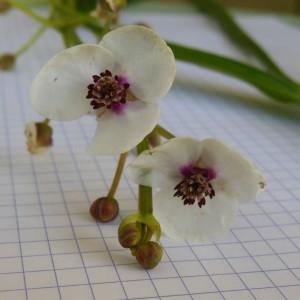 Sagittaria sagittifolia écoph. rhéophile  (Flèche-d'eau)