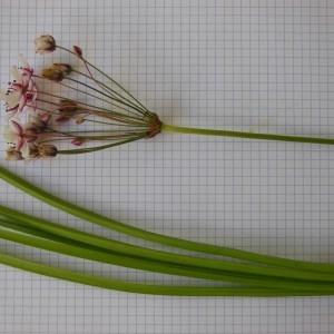 Photographie n°186610 du taxon Butomus umbellatus L. [1753]