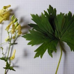 Photographie n°186634 du taxon Aconitum vulparia Rchb. [1819]