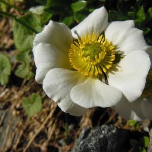 Ranunculus glacialis L. (Renoncule des glaciers)