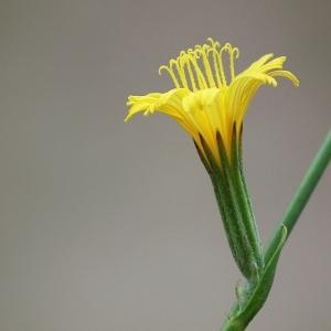 Chondrilla juncea var. latifolia (M.Bieb.) W.D.J.Koch [1844] (Chondrille à tiges de jonc)