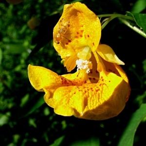 Impatiens capensis Meerb. (Balsamine du Cap)