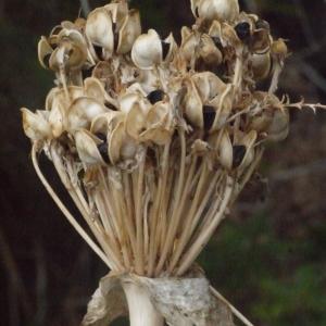 - Allium nigrum L.