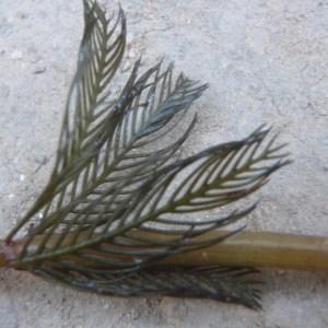 Photographie n°186728 du taxon Myriophyllum spicatum L. [1753]