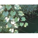 Vitis rupestris Scheele (Vigne des rochers)
