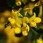 Christine DELORME - Coronilla valentina subsp. glauca (L.) Batt. [1889]