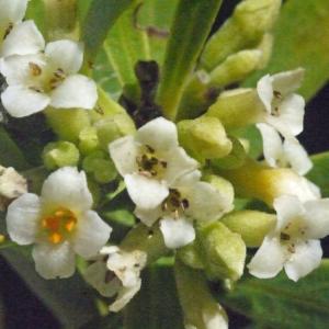 Photographie n°186831 du taxon Daphne gnidium L. [1753]