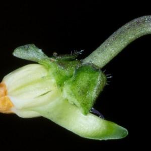 Photographie n°186868 du taxon Viola hirta L. [1753]