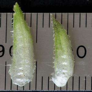 Photographie n°186870 du taxon Viola hirta