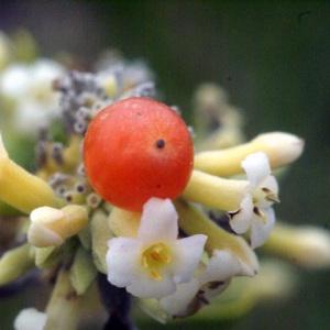Photographie n°186879 du taxon Daphne gnidium L. [1753]