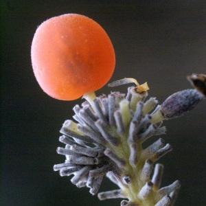 Photographie n°186880 du taxon Daphne gnidium L. [1753]