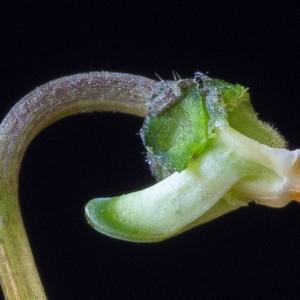 Photographie n°186897 du taxon Viola hirta L.