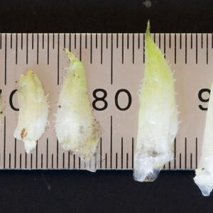- Viola hirta L. [1753]