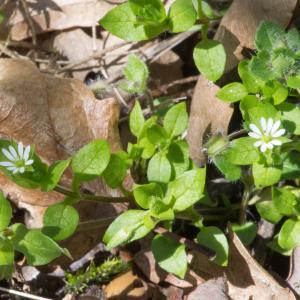 Photographie n°186978 du taxon Stellaria media (L.) Vill. [1789]