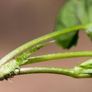 Photographie n°186997 du taxon Viola riviniana Rchb.