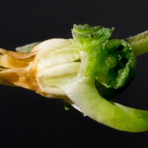 Photographie n°186999 du taxon Viola riviniana Rchb.