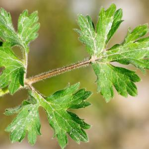 Photographie n°187083 du taxon Ranunculus bulbosus L. [1753]