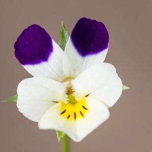 Viola arvensis Murray var. arvensis (Pensée des champs)