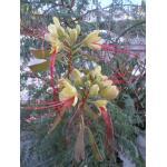 Caesalpinia sp.