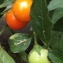 Jean-Claude Echardour - Solanum pseudocapsicum L.