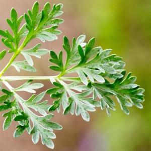 - Artemisia absinthium L.