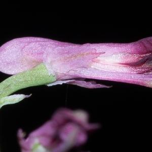Fumaria officinalis L. var. officinalis (Fumeterre officinale)