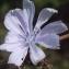 Liliane Roubaudi - Cichorium intybus L. [1753]