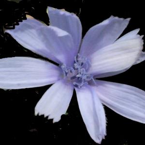 Photographie n°187217 du taxon Cichorium intybus L. [1753]