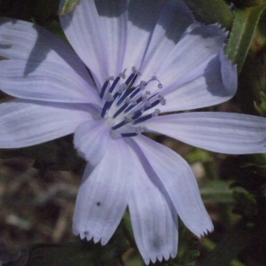 Photographie n°187221 du taxon Cichorium intybus L. [1753]