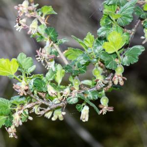 Photographie n°187294 du taxon Ribes uva-crispa L. [1753]