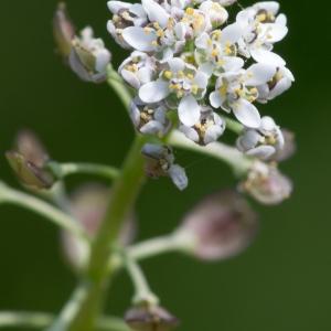 Teesdalia nudicaulis (L.) R.Br. (Téesdalie à tige nue)