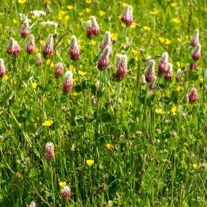 Photographie n°187422 du taxon Trifolium incarnatum subsp. molinerii (Balb. ex Hornem.) Ces. [1844]