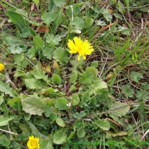 Photographie n°187460 du taxon Crepis sancta subsp. nemausensis (Vill.) Babc. [1941]