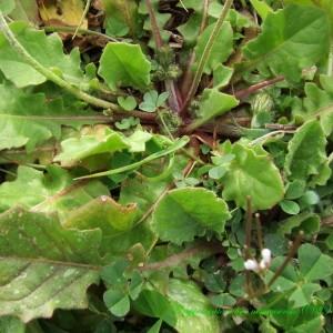 Photographie n°187461 du taxon Crepis sancta subsp. nemausensis (Vill.) Babc. [1941]