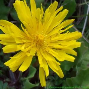 Photographie n°187462 du taxon Crepis sancta subsp. nemausensis (Vill.) Babc. [1941]