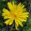 Bernard Andrieu - Crepis sancta subsp. nemausensis (Vill.) Babc. [1941]