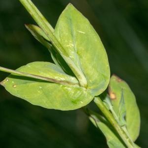 Photographie n°187628 du taxon Silene armeria L. [1753]