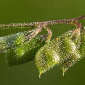 Photographie n°187639 du taxon Vicia hirsuta (L.) Gray [1821]