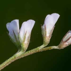 Ervilia vulgaris Godr. (Vesce hérissée)