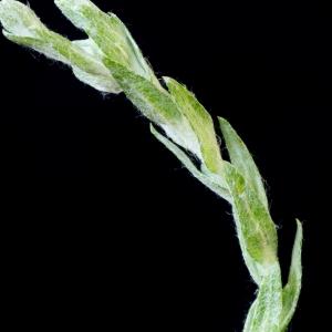 Photographie n°187672 du taxon Filago minima (Sm.) Pers. [1807]