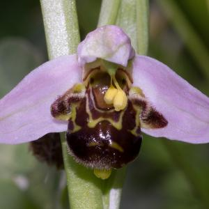 Photographie n°187677 du taxon Ophrys apifera Huds. [1762]