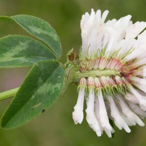 Photographie n°187689 du taxon Trifolium pratense L. [1753]