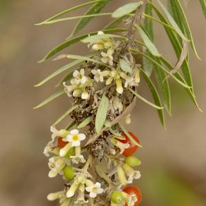 Photographie n°187701 du taxon Daphne gnidium L. [1753]