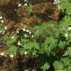 Photographie n°187772 du taxon Ranunculus aconitifolius L. [1753]