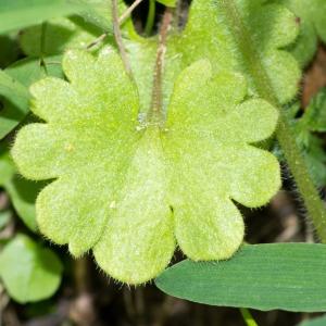Photographie n°187776 du taxon Saxifraga granulata L.