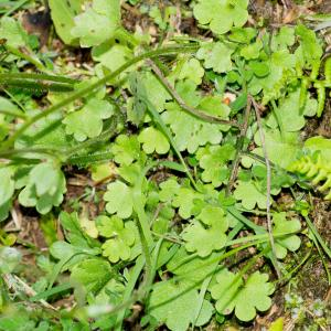 Photographie n°187777 du taxon Saxifraga granulata L.