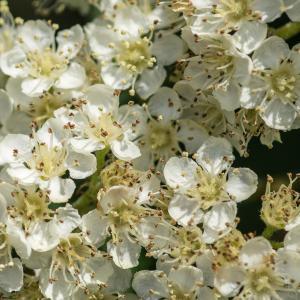 Sorbus aucuparia L. (Sorbier des oiseaux)